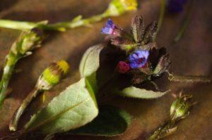 Geflecktes Lungenkraut Frühlingsblumen