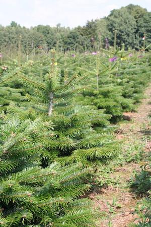 Greentree lebendiger Weihnachtsbaum in Erde