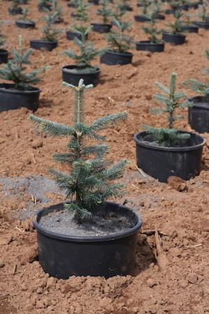 Greentree Weihnachtsbaum in Erde