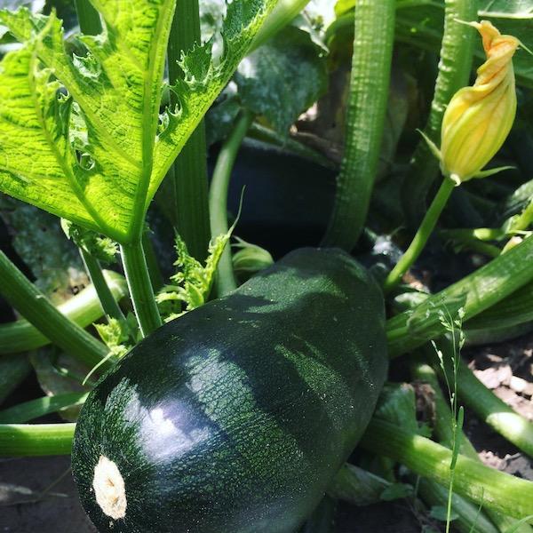 Blühende Zucchini Pflanze