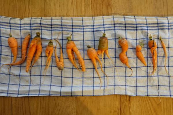 Karotten in allen Größen und Formen