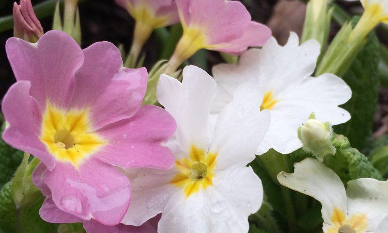 Primel Frühling